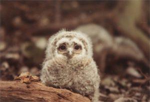 tawny owl nestbox fluffy baby owlet