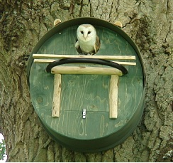 Barn owl nestbox with owl peeking out