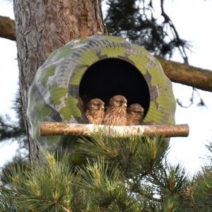 kestrel chicks looking out of nestbox