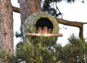 kestrel nestbox with 3 chicks