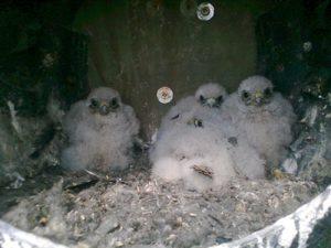 Fluffy kestrel chicks in a kestrel nestbox